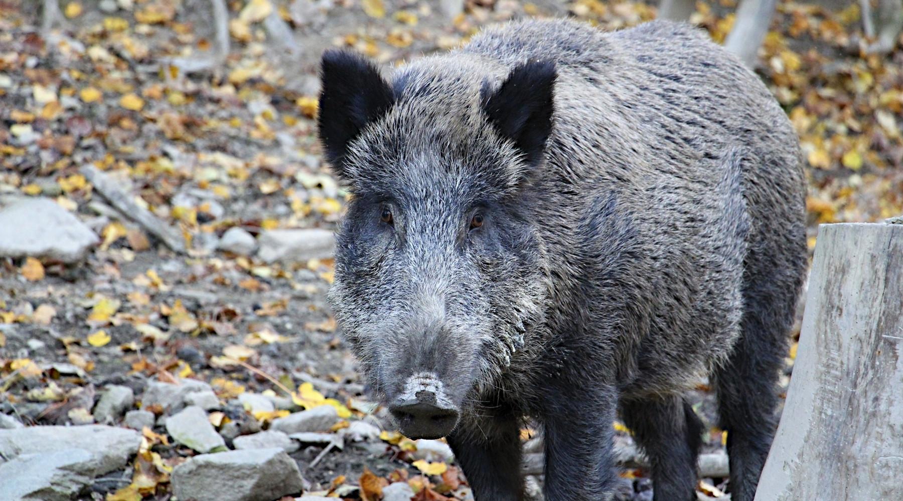 Risarcimento danni da fauna selvatica: cinghiale nella foresta
