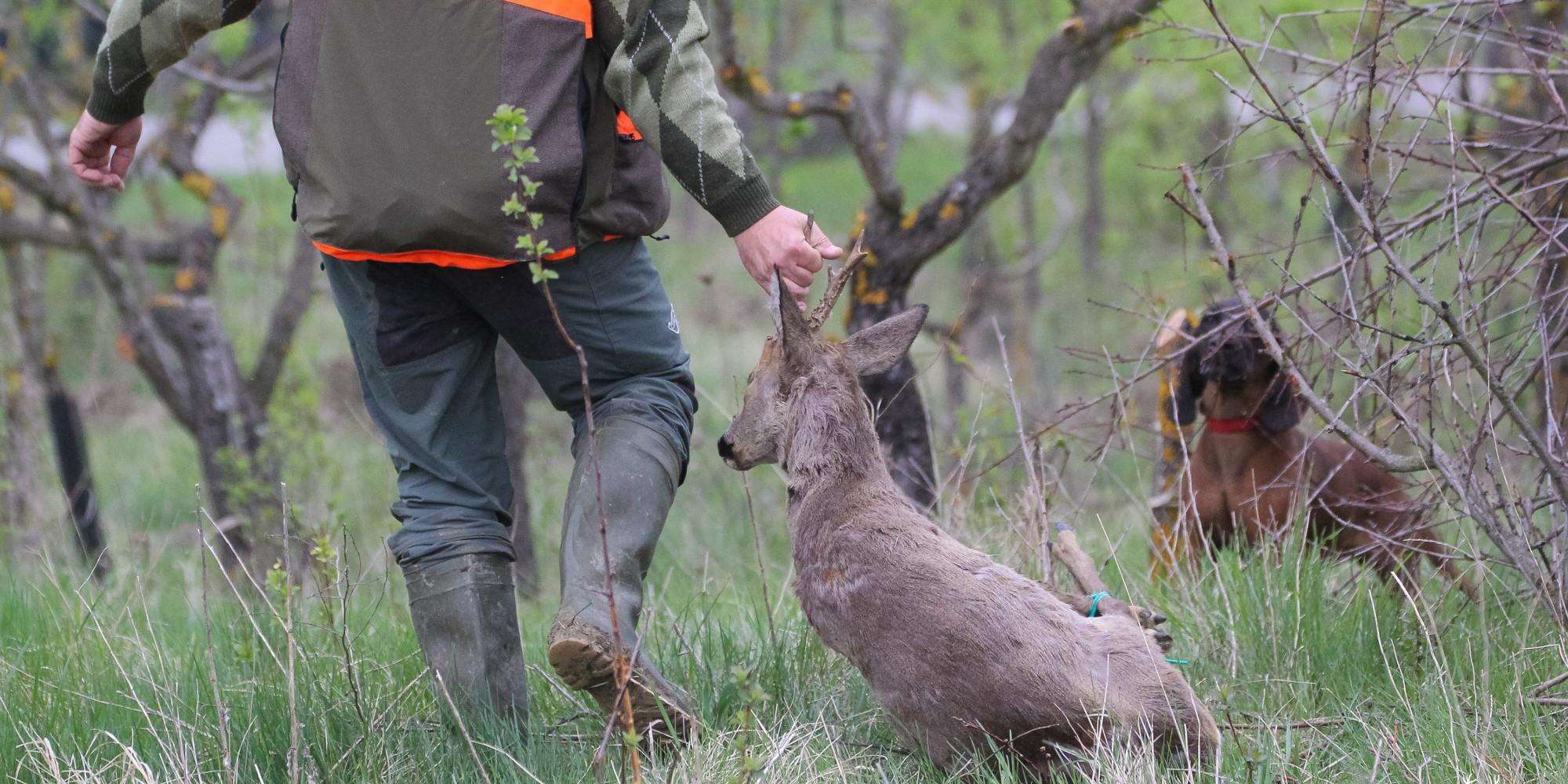 zoonosi: cacciatore con capriolo abbattuto, davanti a cane da recupero